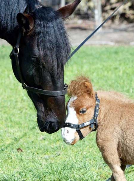 caballo mas pequeño del mundo3