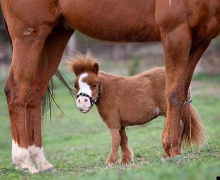 caballo mas pequeño del mundo4