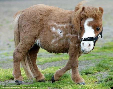 caballo mas pequeño del mundo5