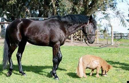 caballo mas pequeño del mundo6
